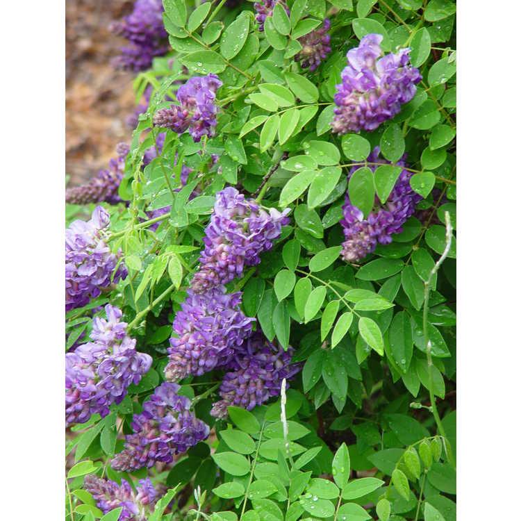 Wisteria frutescens 'Longwood Purple' - American wisteria