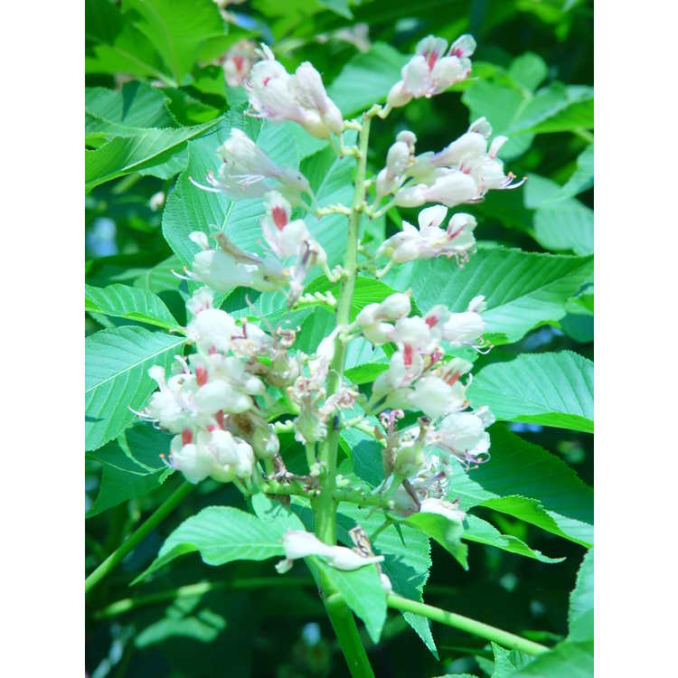 Aesculus ×arnoldiana - Arnold buckeye
