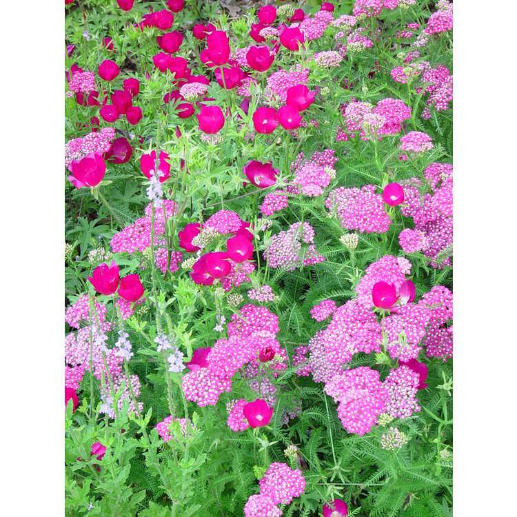 Achillea millefolium Montrose rose form