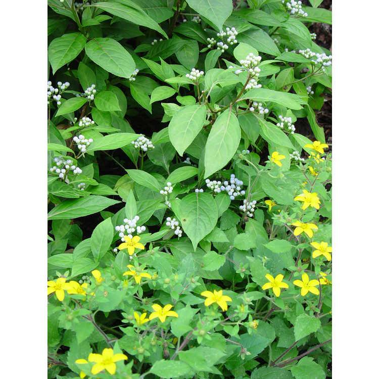 Chrysogonum virginianum - green-and-gold
