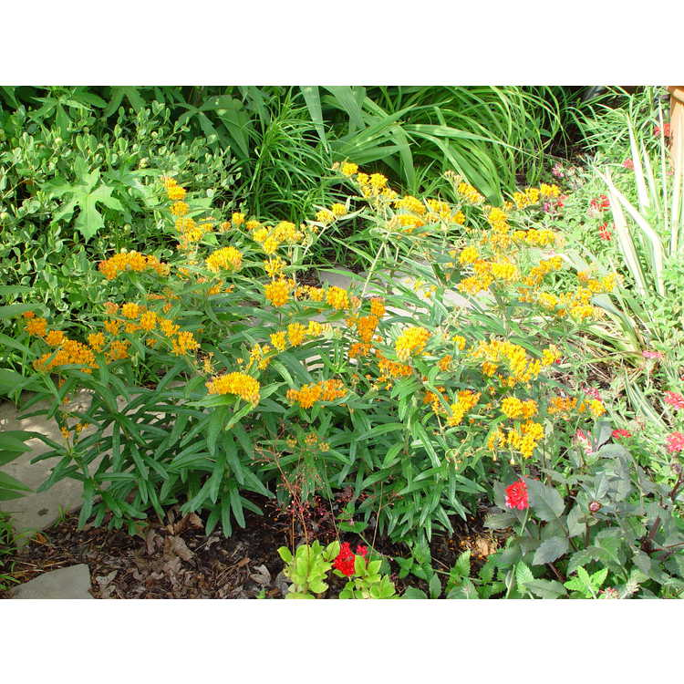 Asclepias tuberosa - butterfly weed