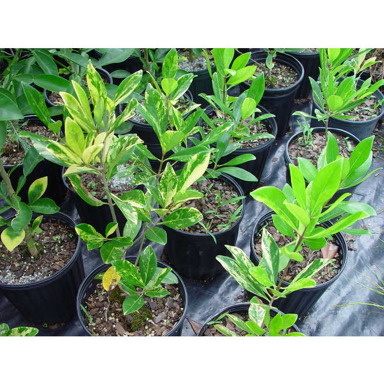 Osmanthus americanus 'Woodlanders Amanda' - variegated wild olive