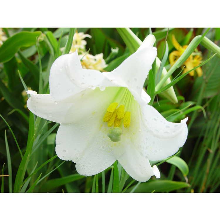 Lilium formosanum - Formosa lily