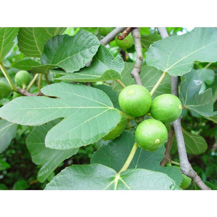 Ficus carica 'Kadota' - honey fig