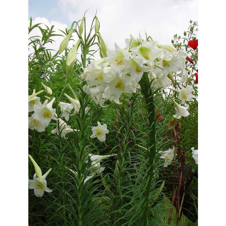 Lilium formosanum