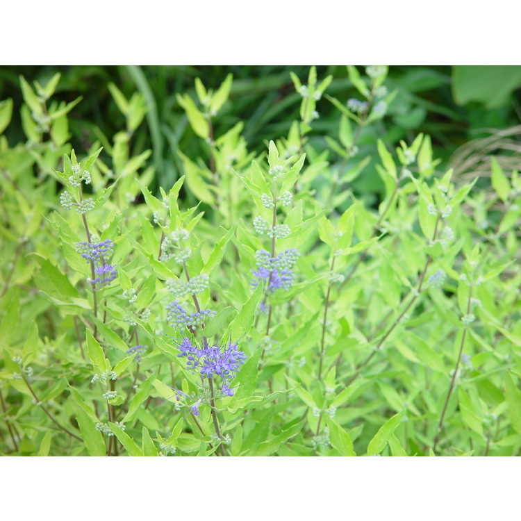 Caryopteris ×clandonensis 'Worcester Gold' - golden bluebeard