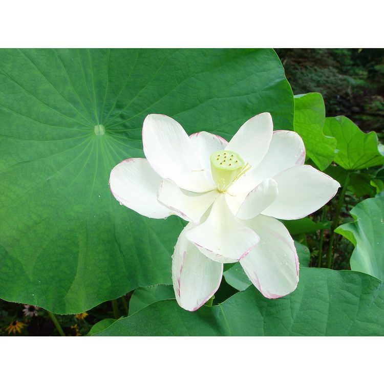 Nelumbo nucifera - sacred lotus