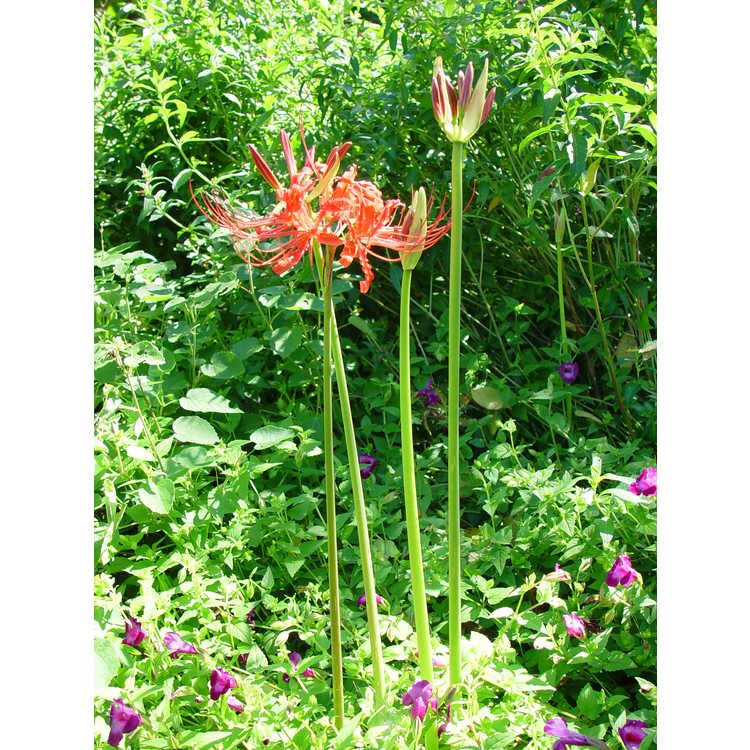 Lycoris radiata var. radiata - red surprise-lily