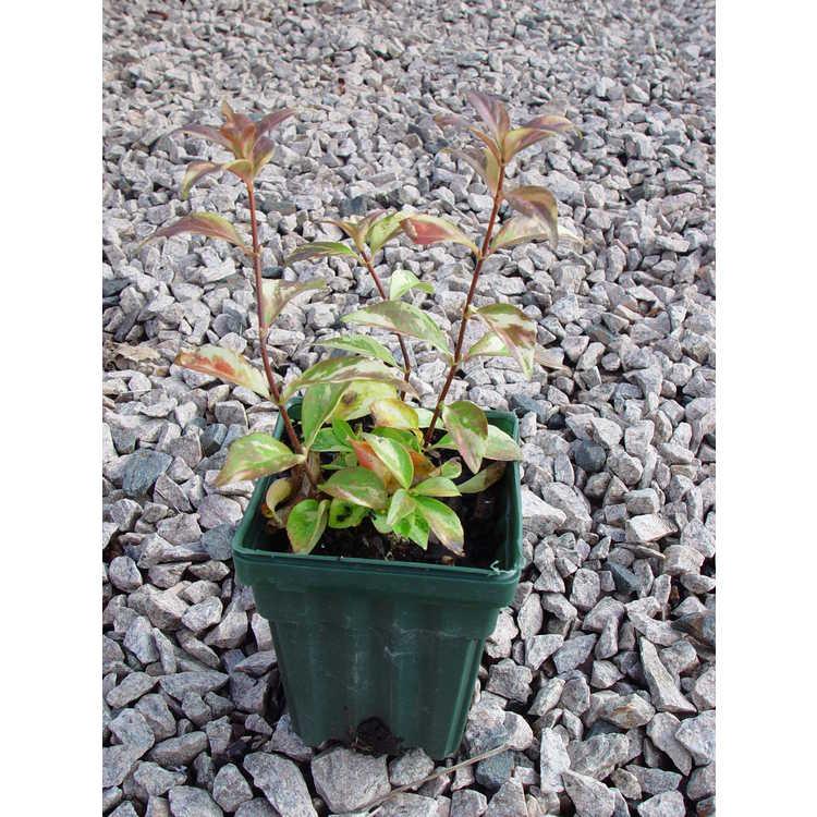 Hydrangea luteovenosa 'Aureovariegata' - variegated sweet hydrangea