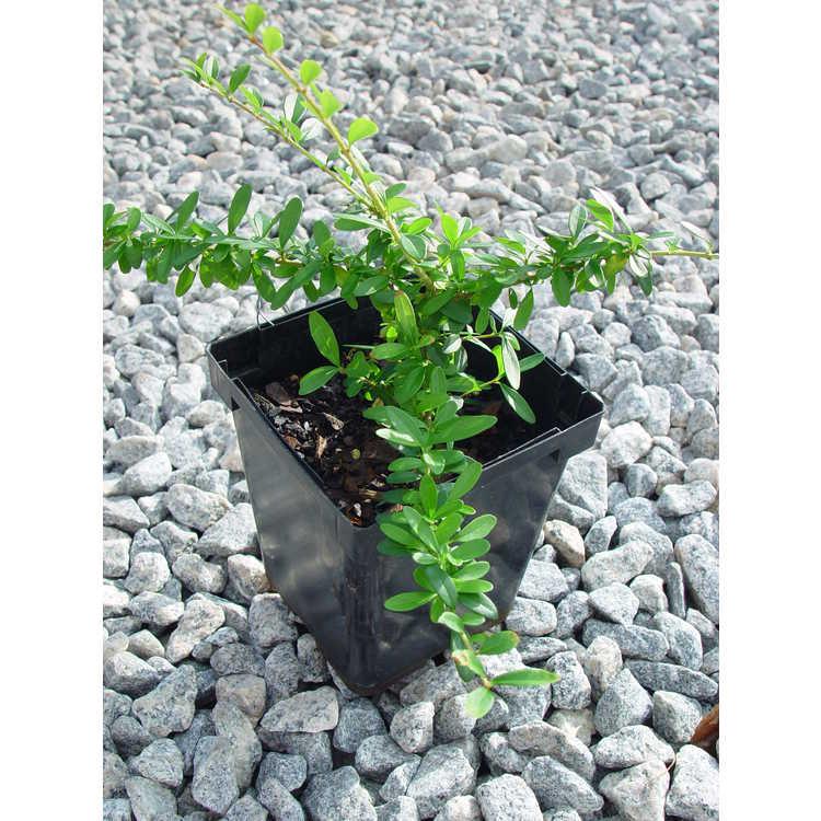 Ligustrum strongylophyllum - littleleaf ligustrum