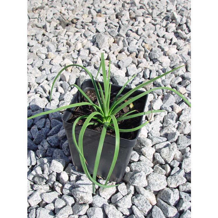 Agave tenuifolia