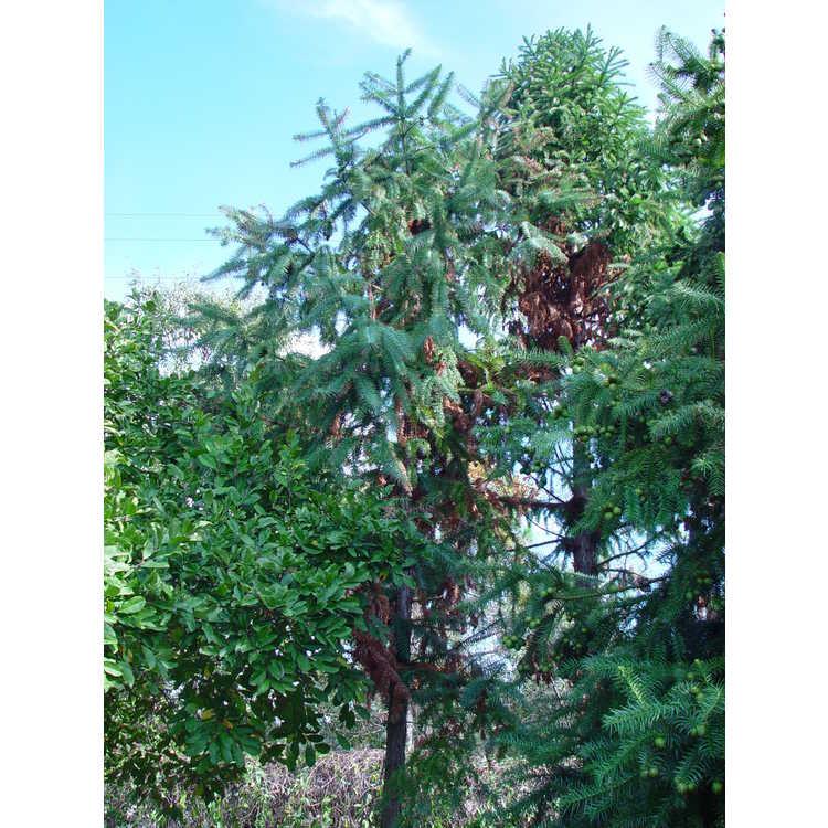 Cunninghamia lanceolata 'Samurai'