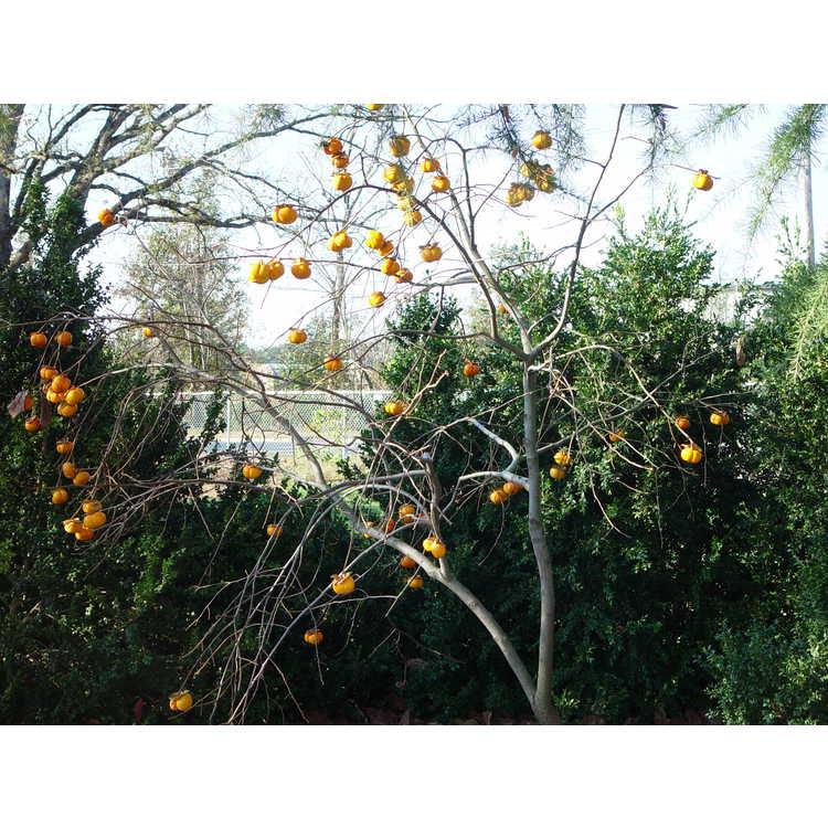 Diospyros kaki - Japanese persimmon