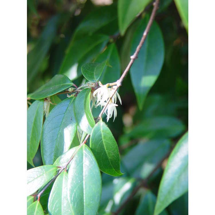 Chimonanthus nitens - evergreen chimonanthus