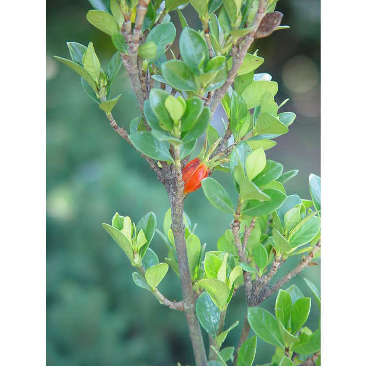 Gardenia jasminoides 'White Gem' - Cape jessamine