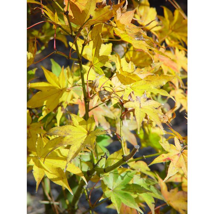 Acer palmatum 'Hôgyoku'