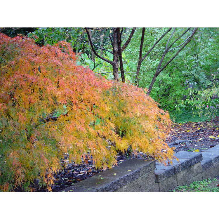Acer palmatum Dissectum Viride Group - green lace-leaf Japanese maple