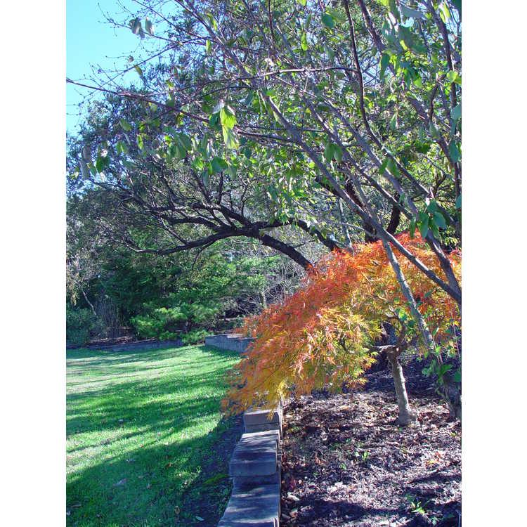 Acer palmatum Dissectum Viride Group