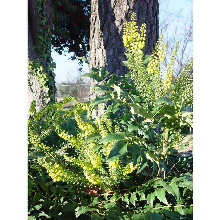 Mahonia Yucca Do hybrids