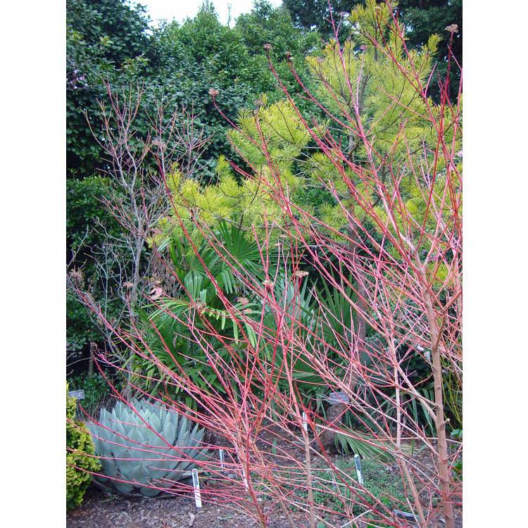 Agave parryi subsp. parryi var. huachucensis