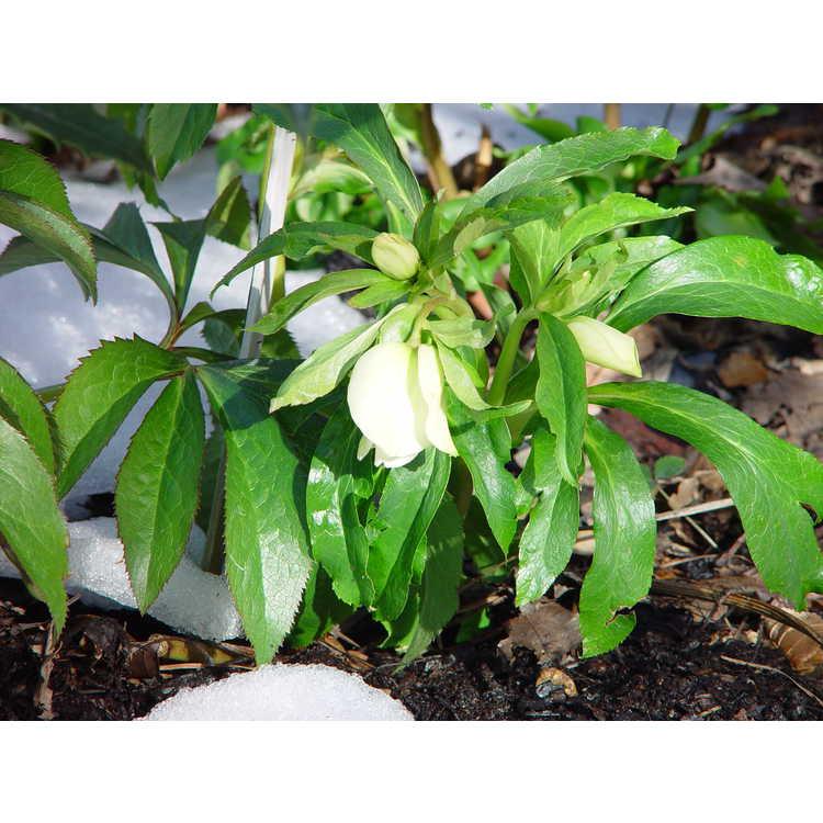 Helleborus hybridus Royal Heritage strain
