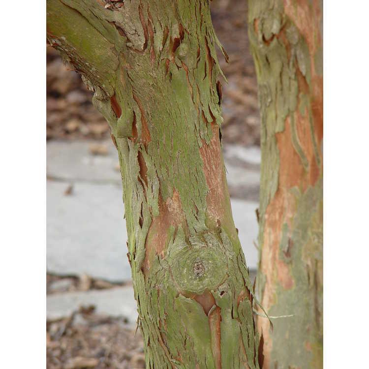 Lagerstroemia limii - Zhejiang crepe myrtle