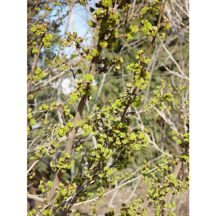 Lindera chienii - winter spicebush
