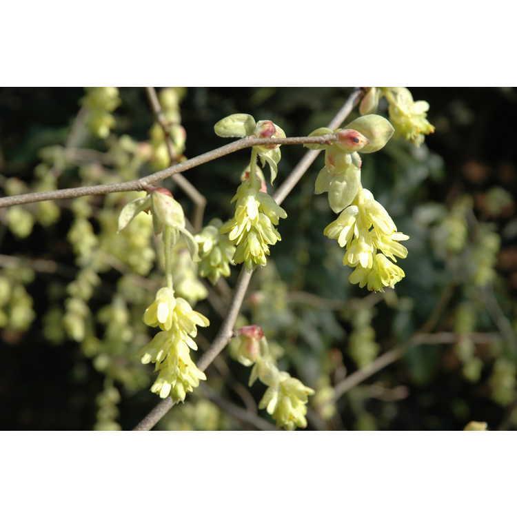 Corylopsis spicata - spiked winterhazel