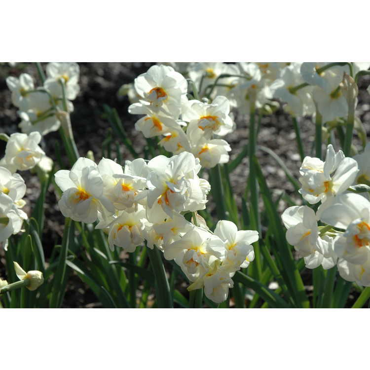 Narcissus Abba