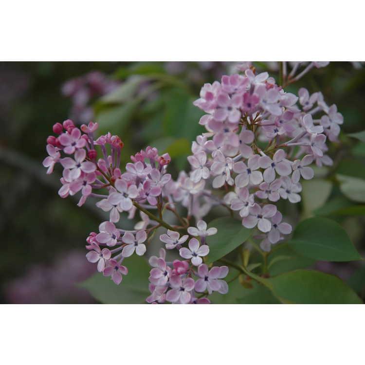 Syringa oblata subsp. dilatata - Korean early lilac