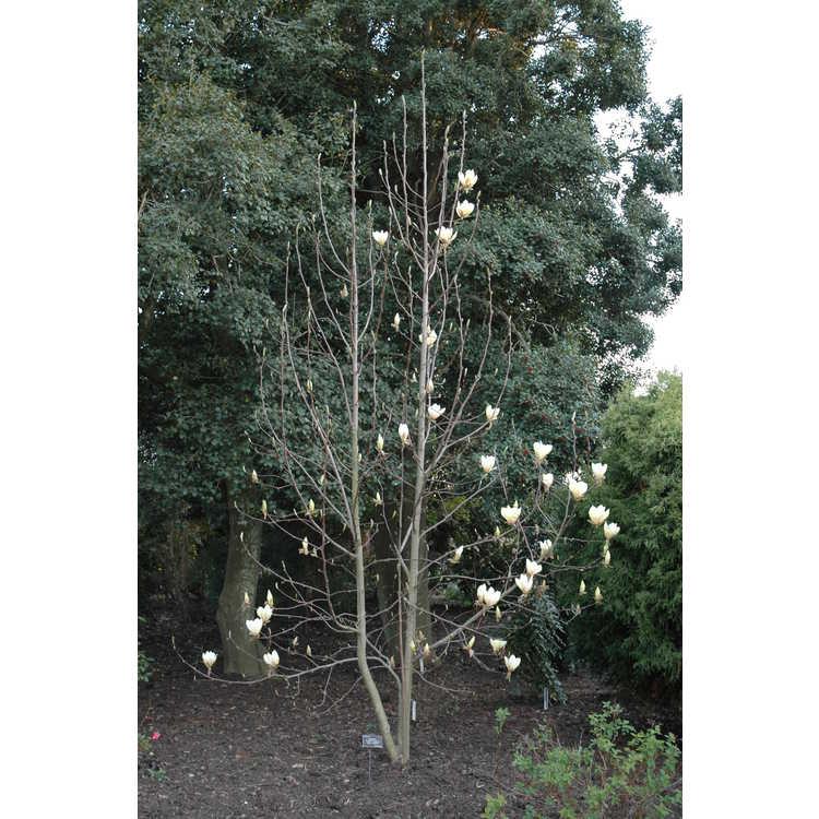 Magnolia 'Yellow Lantern' - yellow magnolia
