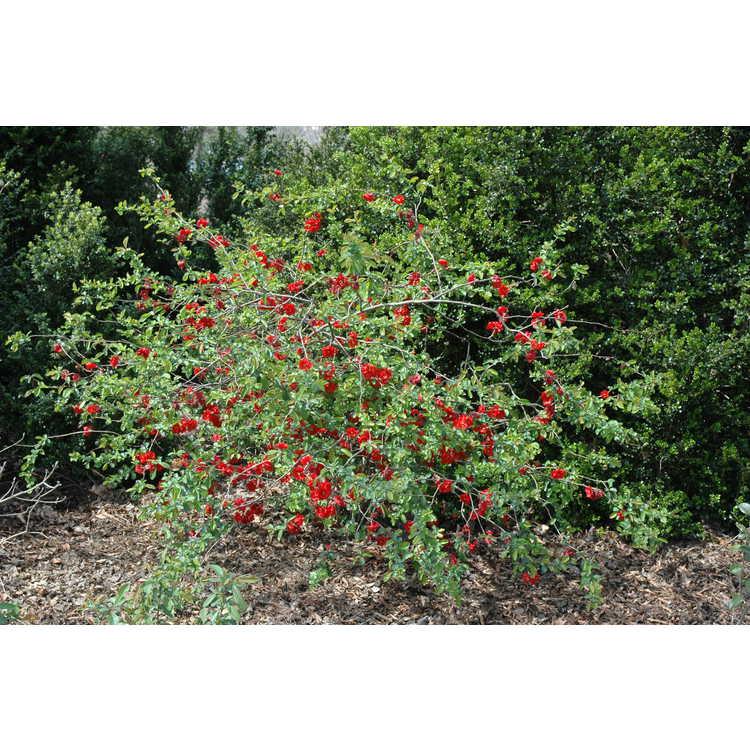Chaenomeles speciosa 'Orange Delight' - flowering quince