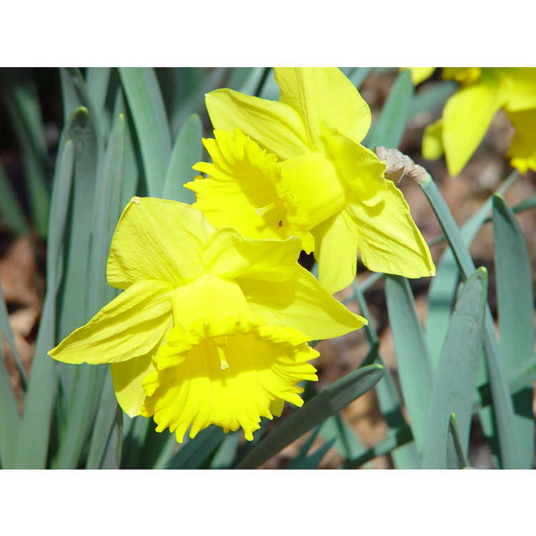 Narcissus 'Cyclops' - small-cupped daffodil