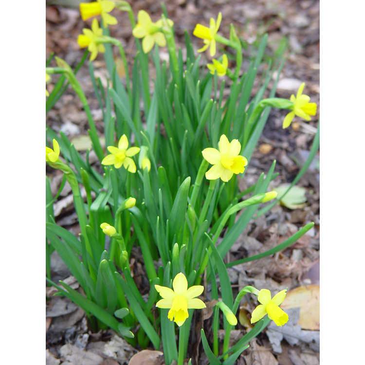 Narcissus Tête-à-Tête