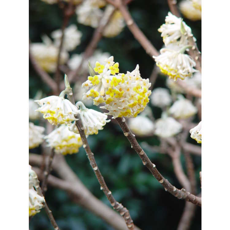 Edgeworthia chrysantha 'Gold Rush'