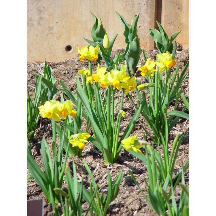 Narcissus 'Bittern' - small-cupped daffodil