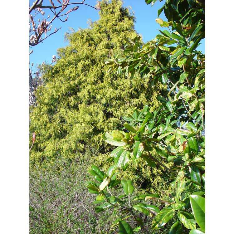 Magnolia grandiflora (variegated form) - variegated Southern magnolia