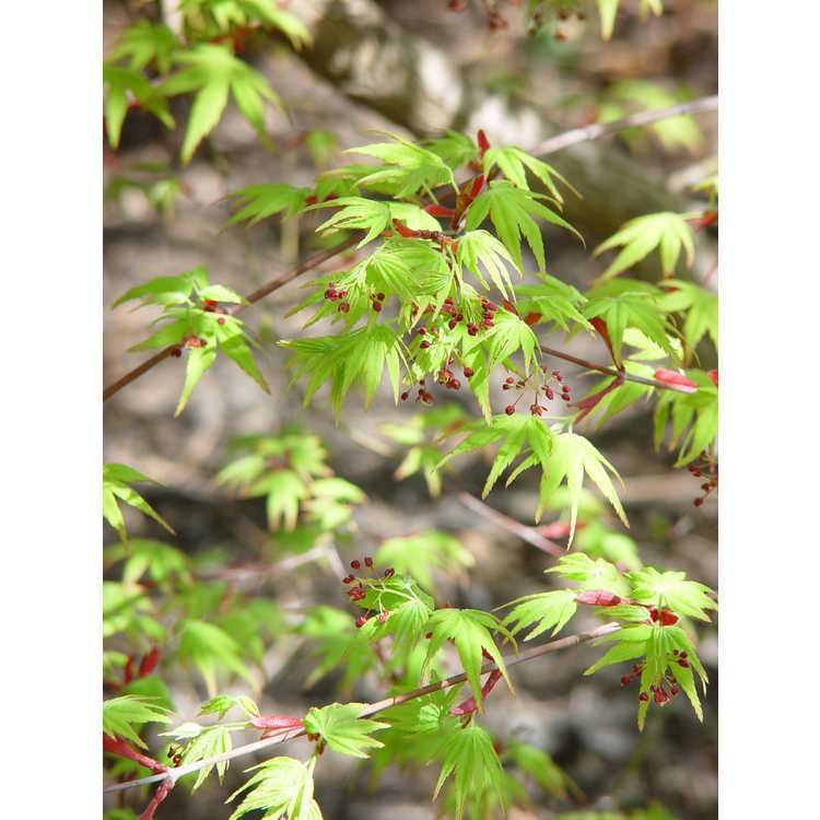 Acer palmatum 'Nishiki gawa'