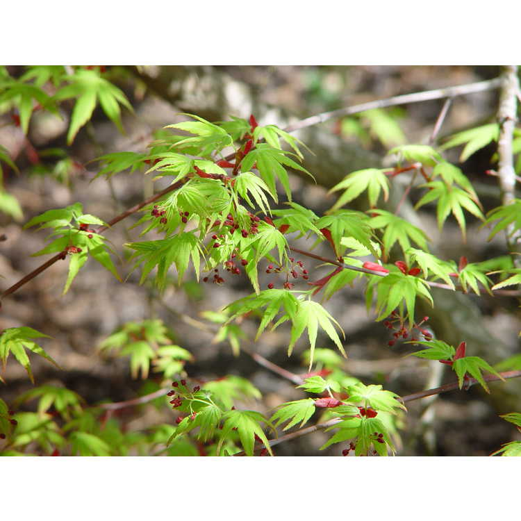 Acer palmatum Nishiki gawa