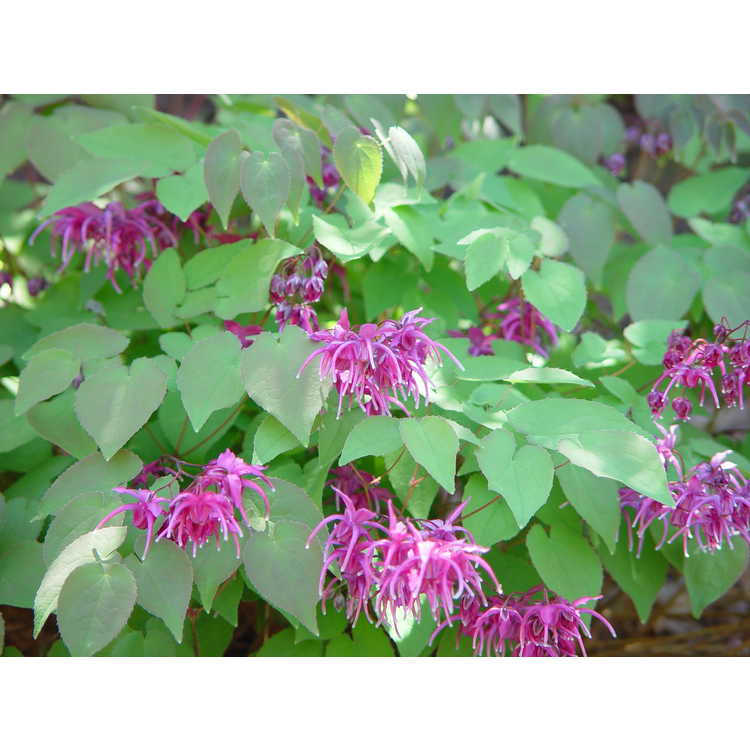 Epimedium grandiflorum Rose Queen