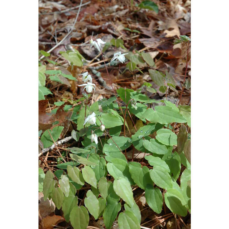 Epimedium - barrenwort