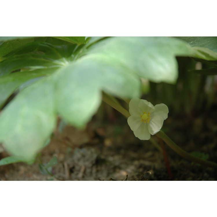 Podophyllum peltatum - mayapple