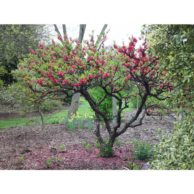 Prunus persica 'NCSU Dwarf Double Red'