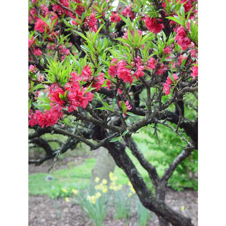 Prunus persica NCSU Dwarf Double Red