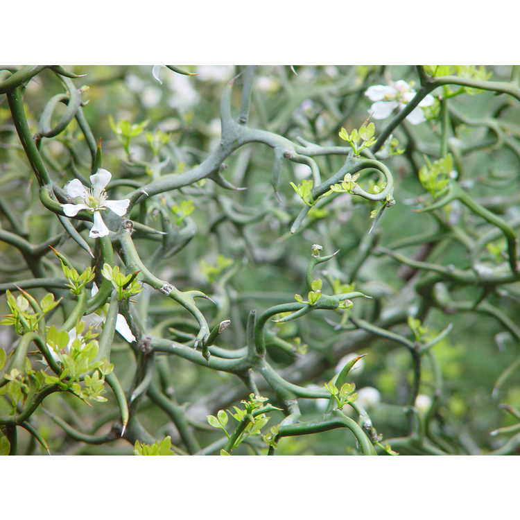 Poncirus trifoliata Flying Dragon