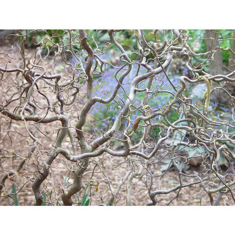 Corylus avellana 'Contorta' - Harry Lauder's walkingstick