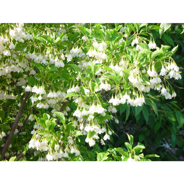 Styrax japonicus 'Fargesii' - Japanese snowbell