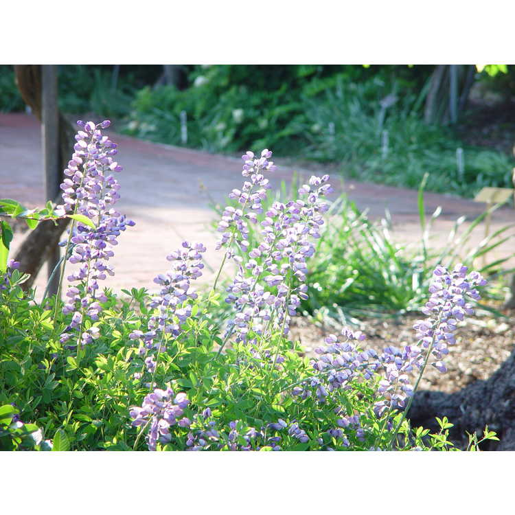 Baptisia 'Purple Smoke' - purple wild-indigo