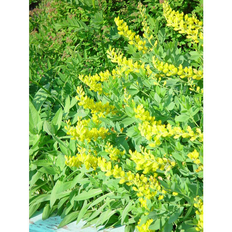 Baptisia sphaerocarpa Screaming Yellow