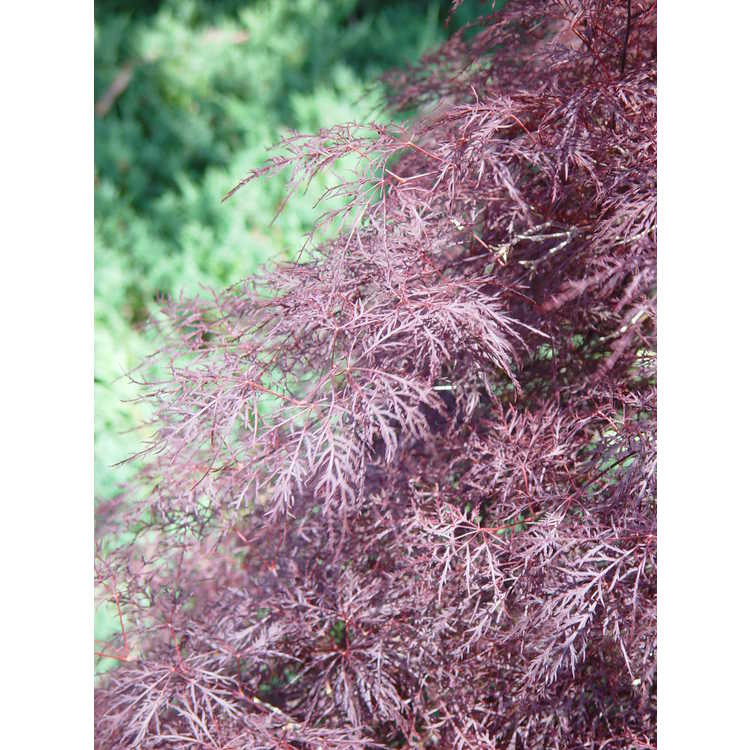 Acer palmatum 'Red Filigree Lace'